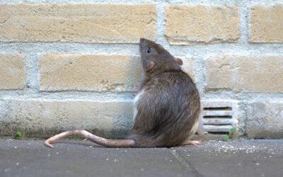 Cijfers: rattenoverlast is vooral probleem in Echt en Koningsbosch