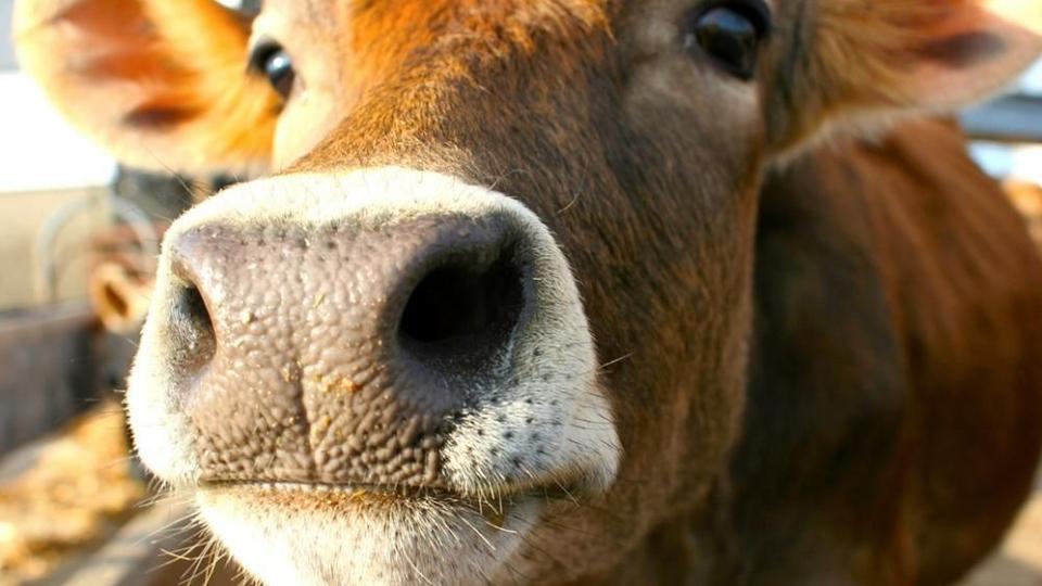 Koe die tijdens hoogwater 100 km zwom maakt kans op prijs